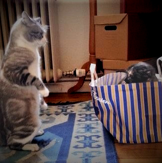 Two cats standing off against each other